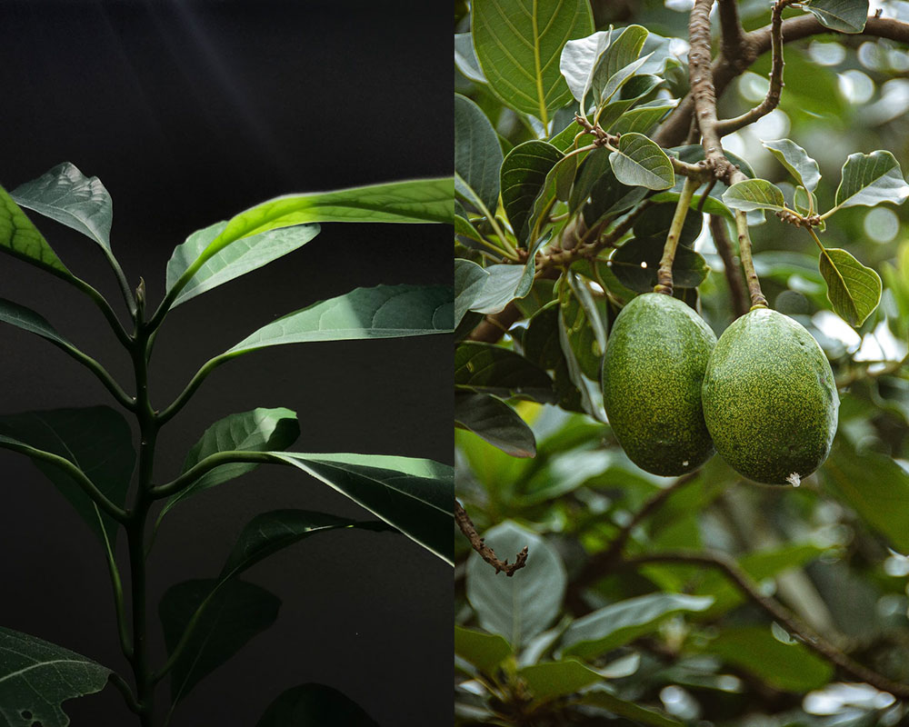 Regrow - Avocado Tree - The Evolution regrow Regrow: the technique that gives new life to your food Thesleepjourney avocado